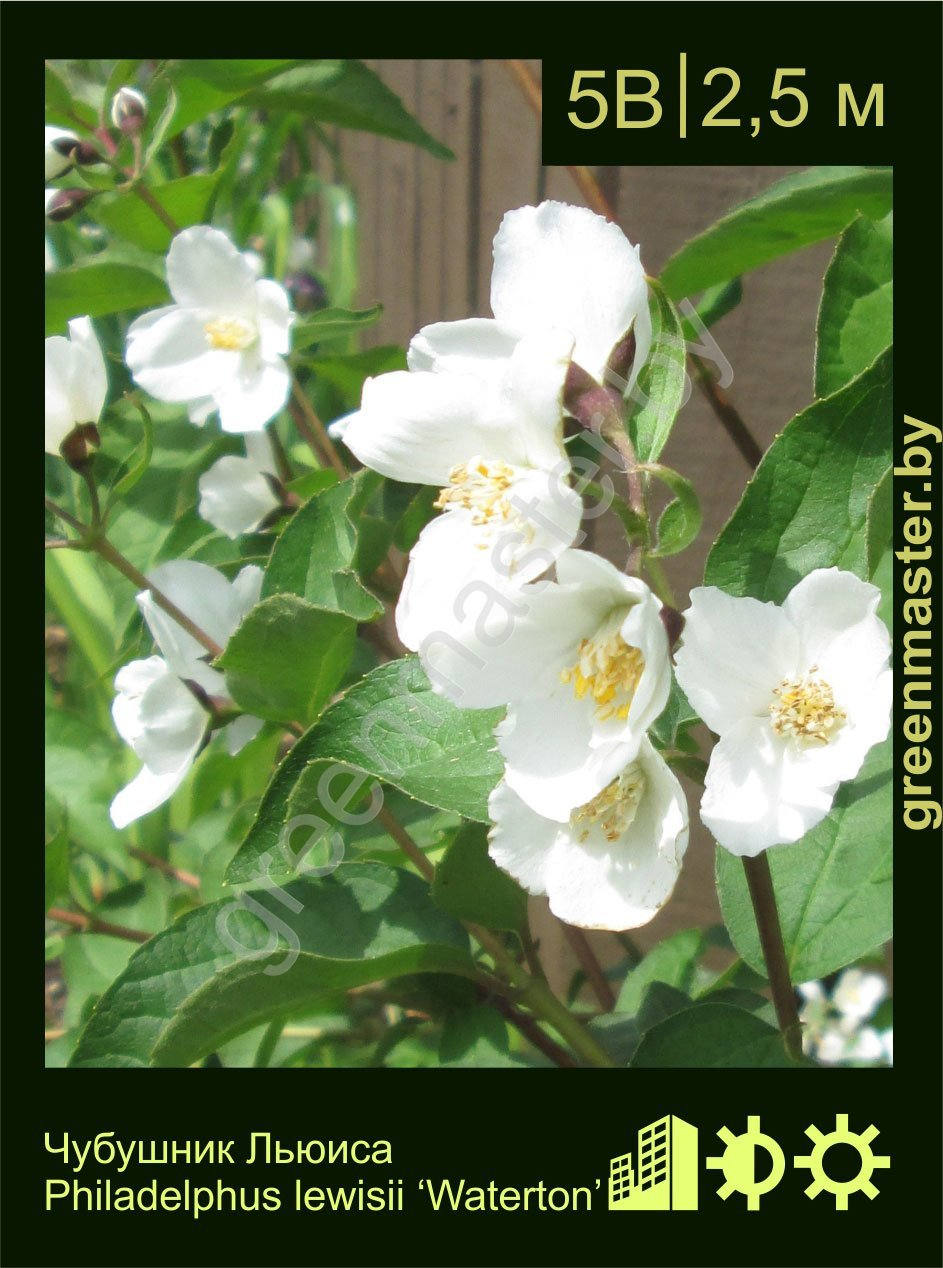Чубушник-Льюиса-Philadelphus-lewisii-'Waterton'