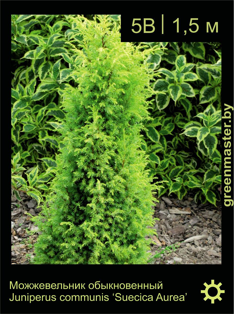 Можжевельник обыкновенный, Juniperus Communis