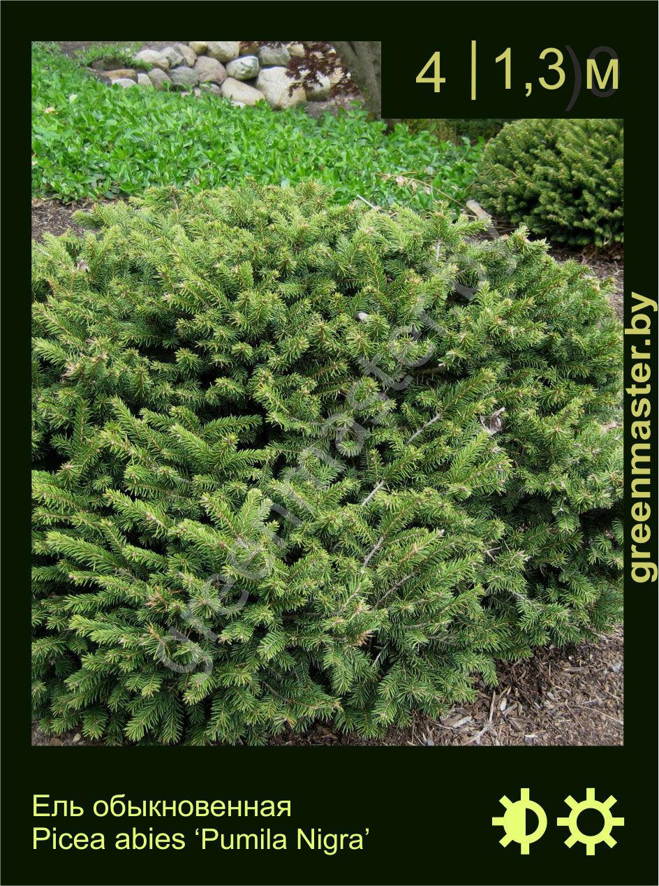 ель обыкновенная ель европейская Picea Abies