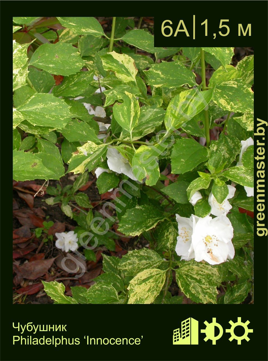 Чубушник-Philadelphus-'Innocence'