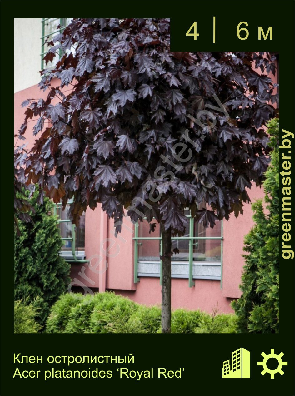 Клен-остролистный-Acer-platanoides-'Royal-Red'