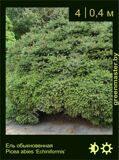 8-Ель обыкновенная-Picea-abies-'Echiniformis'