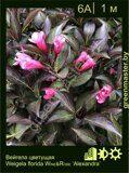 Вейгела-цветущая-Weigela-florida-WINE&ROSE-'Alexandra'