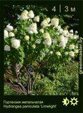 Гортензия-метельчатая-Hydrangea-paniculata-'Limelight'