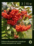 Рябина-обыкновенная-съедобная-Sorbus-aucuparia-var