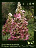 Гортензия-метельчатая-Hydrangea-paniculata-PINKY-WINKY-'DVPPinky'