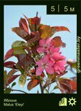 Яблоня-Malus-'Eleyi'