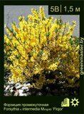 Форзиция-промежуточная-Forsythia-x-intermedia-Minigold-'Flojor'
