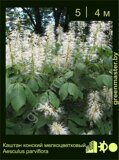 Каштан-конский-мелкоцветковый-Aesculus-parviflora