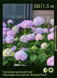 Гортензия-крупнолистная-Hydrangea-macrophylla-'Bouquet-Rose'