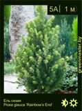 10-Ель-сизая-Picea-glauca-'Rainbow's-End'