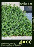 Бересклет-Форчуна-Euonymus-fortunei-'Coloratus'