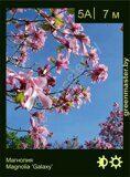 Магнолия-Magnolia-'Galaxy'