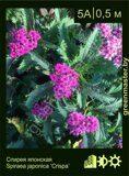 Спирея-японская,-Spiraea-japonica-'Crispa'