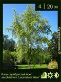 Клен-серебристый-Acer-saccharinum-Laciniatum-Wieri