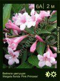 Вейгела-цветущая-Weigela-florida-'Pink-Princess'
