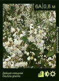 Дейция-изящная-Deutzia-gracilis