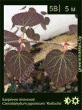 Багряник-японский-Cercidiphyllum-japonicum-'Rotfuchs'