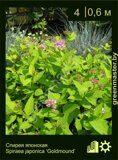 Спирея-японская-Spiraea-japonica-'Goldmound'