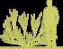 3-rakitnik-cytisus-burkwoodii-siluet.png