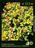 Спирея-японская-Spiraea-japonica-Magic-Carpet-'Walbuma'-1
