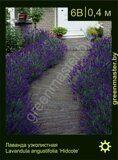 Лаванда-узколистная-Lavandula-angustifolia-'Hidcote'