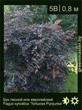 Бук-лесной-Fagus-sylvatica-'Tortuosa-Purpurea'