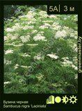 Бузина-черная-Sambucus-nigra-'Laciniata'