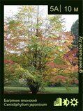 Багряник-японский-Cercidiphyllum-japonicum