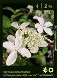 Гортензия-метельчатая--Hydrangea-paniculata-Great-Star®-'Le-Vasterival'