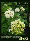 Калина-обыкновенная-(красная)-Viburnum-opulus-'Compactum'