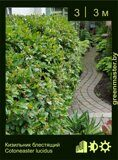 Кизильник-блестящий-Cotoneaster-lucidus