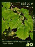 Лещина-древовидная,-медвежий-орех-Corylus-colurna