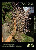 Калина-Фаррера-Viburnum-farreri-(V fragrans)