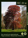 Бук-лесной-Fagus-sylvatica-'Atropunicea'