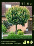 Клен-остролистный-Acer-platanoides-'Globosum'