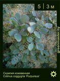 Скумпия-кожевенная-Cotinus-coggygria-'Purpureus'