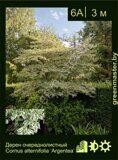 Дерен-очереднолистный-Cornus-alternifolia-'Argentea'
