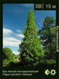 Бук-лесной-Fagus-sylvatica-'Dawyck'