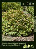 Калина-обыкновенная-(красная)-Viburnum-opulus-'Nanum'