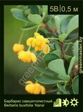 Барбарис-самшитолистный-Berberis-buxifolia-'Nana'