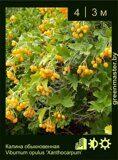 Калина-обыкновенная-(красная)-Viburnum-opulus-'Xanthocarpum'