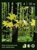 Клен-остролистный-Acer-platanoides