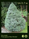 4-Ель-сизая-Picea-glauca-'Blue-Wonder'