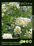 Бирючина-обыкновенная-Ligustrum-vulgare-'Atrovirens'