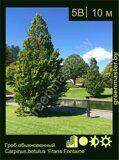 Граб-обыкновенный-Carpinus-betulus-'Frans-Fontaine'