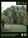 Бук-лесной-Fagus-sylvatica-'Pendula'