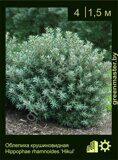 Облепиха-крушиновидная-Hippophae-rhamnoides-'Hikul'