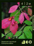 Бересклет-крылатый-Euonymus-alatus-1