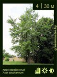 Клен-серебристый-Acer-saccharinum